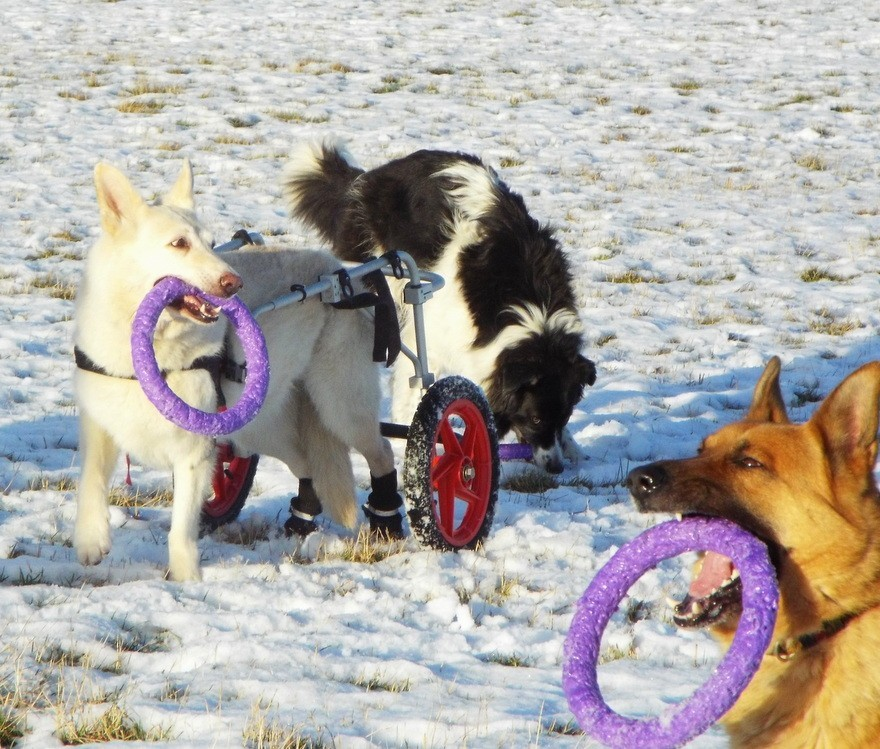 The Puller, great for all types of dogs