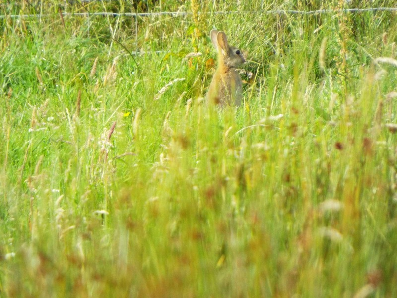 Rabbit in the long grass
