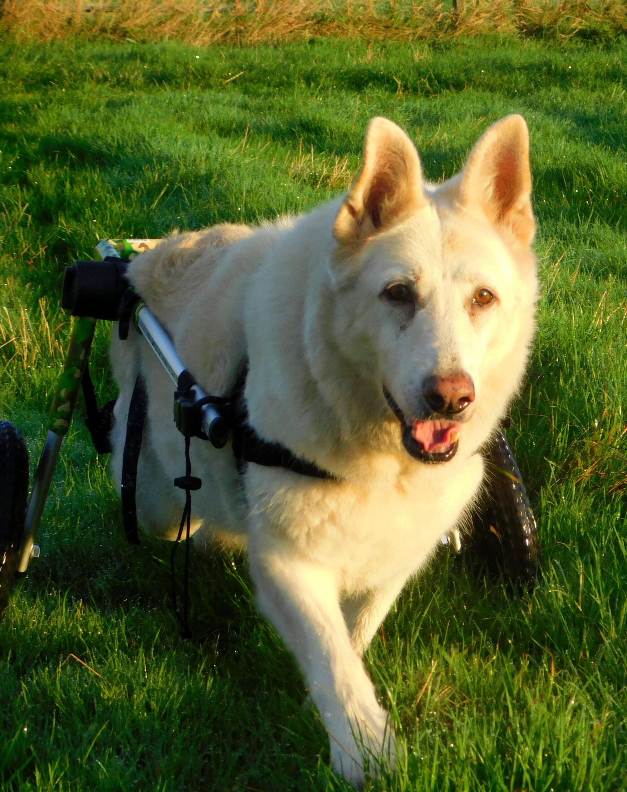 Daisy in her Walkin' Wheels