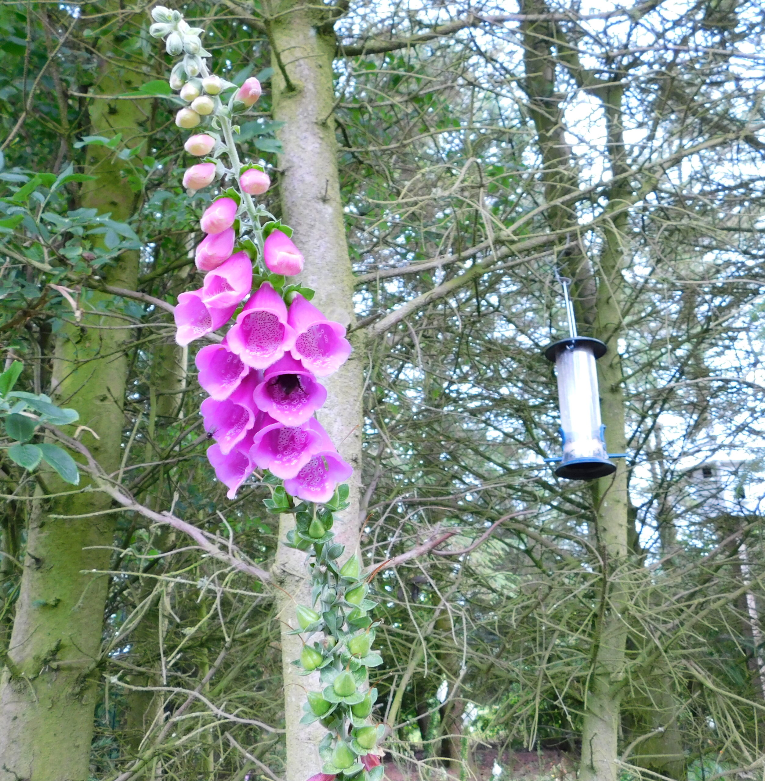 Foxgloves can be poisonous for pets