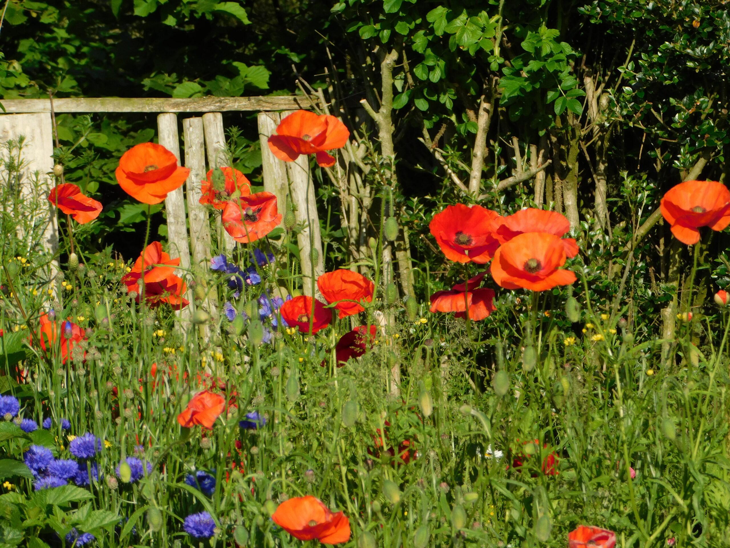 Wildflower garden with poppies