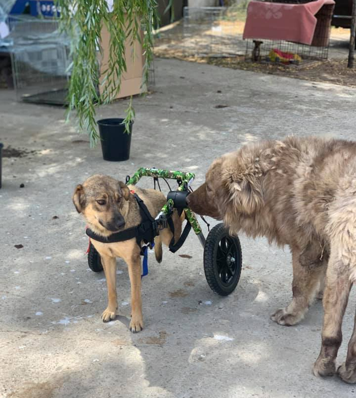 Rescue dog in Romania with her Walkin' Wheels