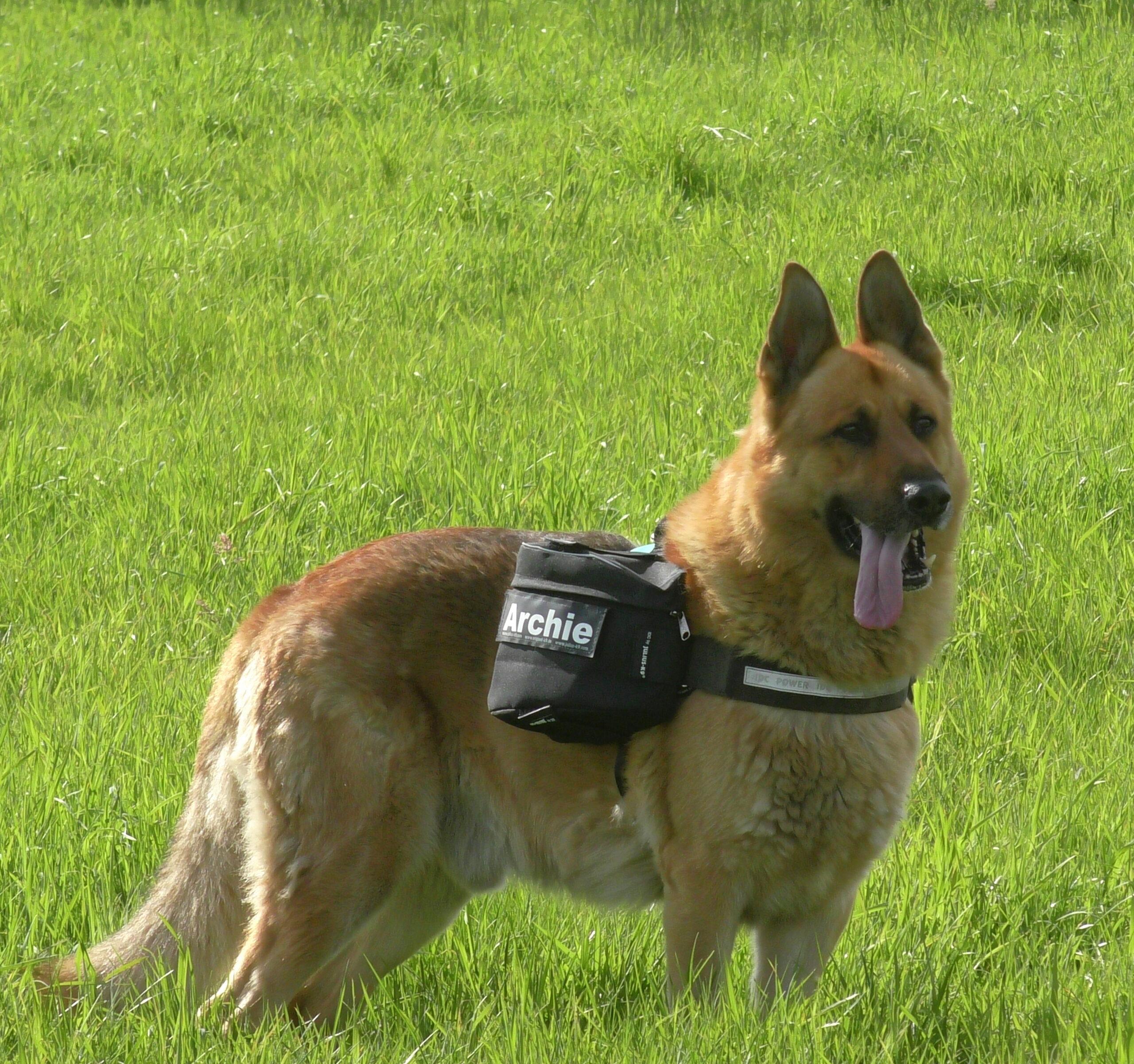 Dog wearing Julius-K9 Saddlebags
