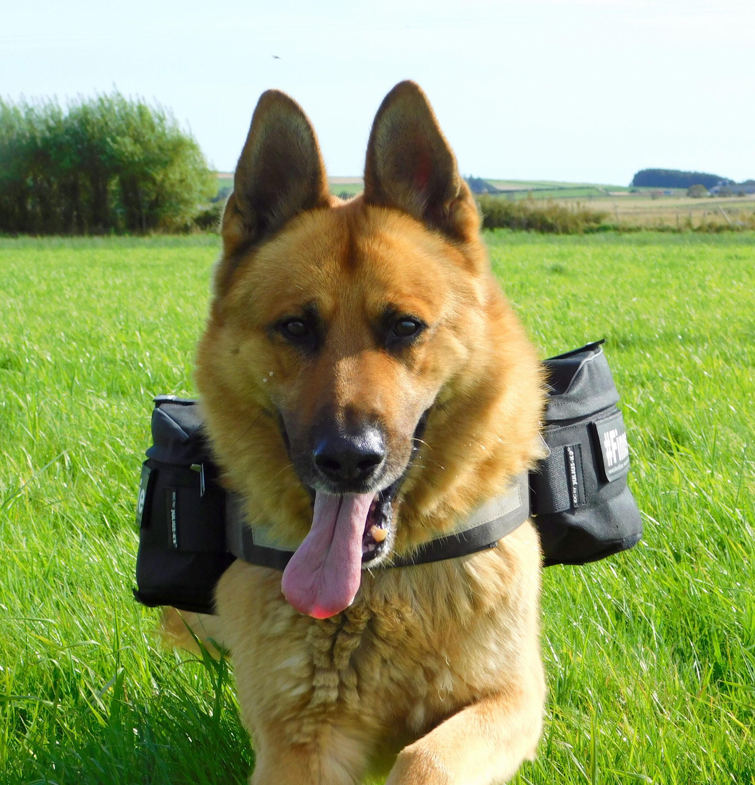 Dog wearing Julius K9 Saddlebags