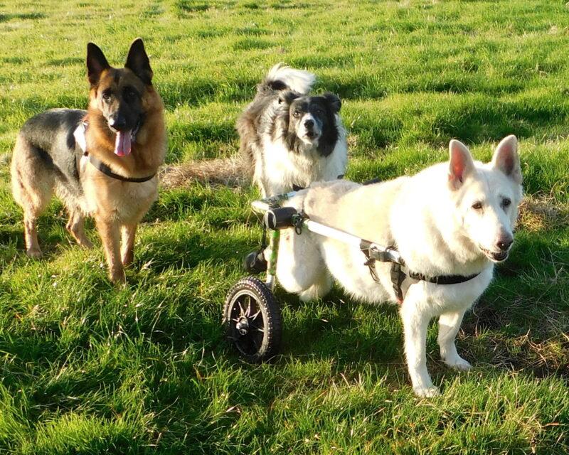Daisy in her Walkin' Wheels Wheelchair