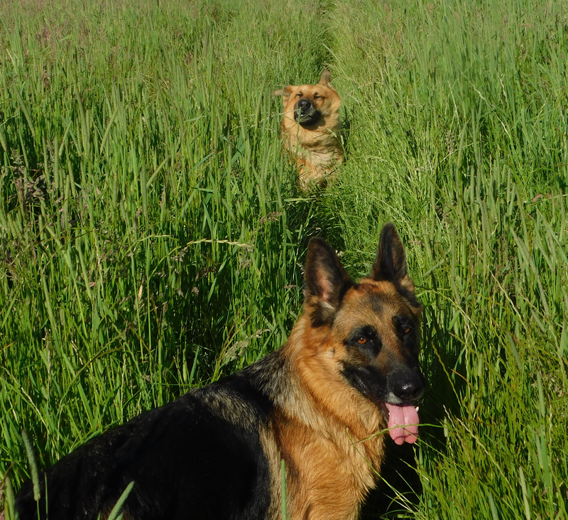 Dogs in the long grass